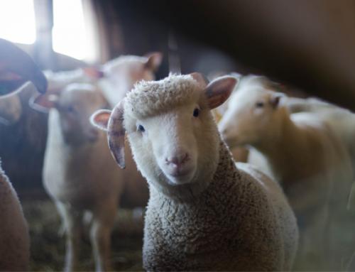 Cercas para ovinocultura